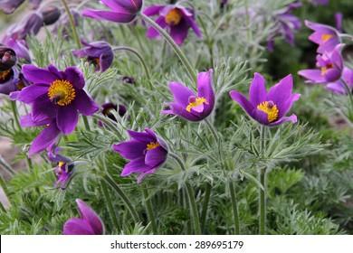 Close up of purple Pasque Flower (Pulsatilla vulgaris)