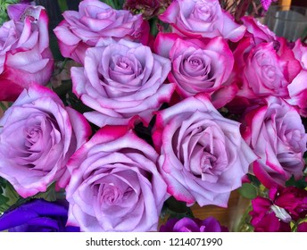 Close up of purple pink rose buds