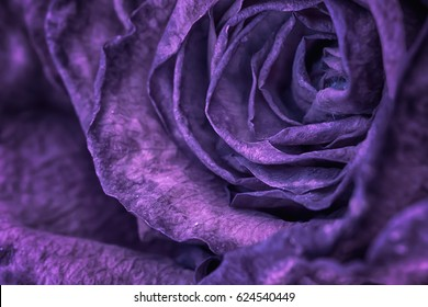 Close up of a purple rose