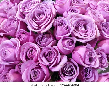 Close up of purple roses flower bouquet.