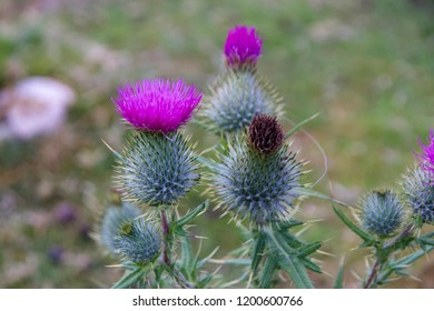 Close up of Purple Thistle Flowers
