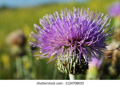 Close up of purple thistle with pollen on tips, on prairie in South Dakota