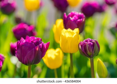 Close up of purple or violet and yellow tulips flowers blooming floral nature background