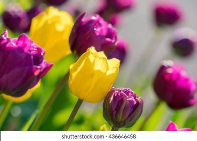 Close up of purple or violet and yellow tulips flowers blooming in the garden as floral nature background