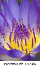Close up purple water lily