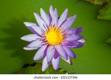 Close up purple water lily or lotus flower and shadow of it on nature or green water background for concept design or decorative