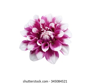 Close up of purple white Dahlia flower isolated on white background with clipping path.