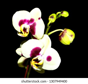 Close up of a purple and white Paphiopedilum Orchid isolated on black.