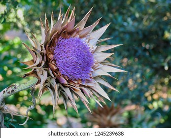 Close up of a purple wild growing artichoke, or cardoon, drying in the mediterranean sun in Greece.