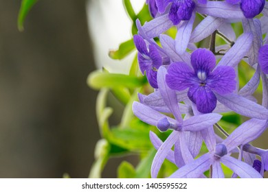 close up to Purple wreath flowers, Petrea volubilis, were blossoming in tropical garden.This beauty botany had violet petal in detal with fresh natural vine and its received light to blossom for life