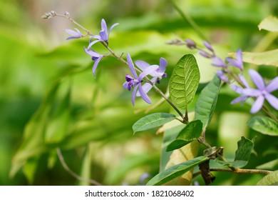 close up Purple Wreath, QUEEN'S WREATH, SANDPAPER VINE(Petrea volubilis Linn)  in soft background