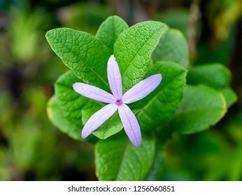 Close up of Purple Wreath – Sandpaper Vine flower with leaves. (Petrea volubilis)