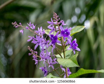 Close up of Purple Wreath – Sandpaper Vine flower background. (Petrea volubilis)