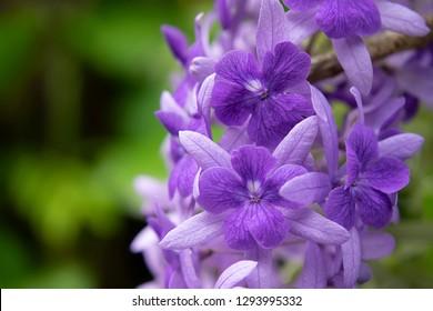 Close up of Purple Wreath Sandpaper Vine flower background. (Petrea volubilis)