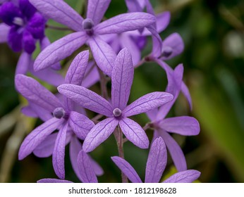 Close up of Purple Wreath Sandpaper Vine flower blooming with blur background. (Scientific name Petrea volubilis)