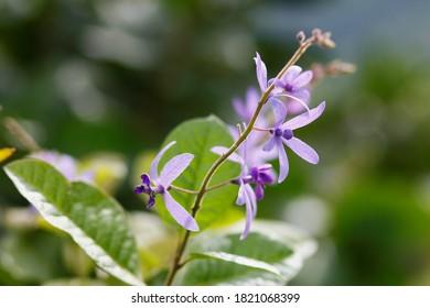 close up Purple Wreath,QUEEN'S WREATH, SANDPAPER VINE(Petrea volubilis Linn)  in soft background