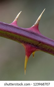 Close up of purple and yellow thorns