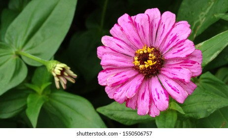 Close up of purple Zinnia elegans flower in the field. Zinnia elegans is one of the best known zinnias, the garden zinnia was bred via hybridisation from the wild form.