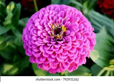 Close up purple Zinnia flower (Zinnia violacea) on green leafy background. Purple Zinnia flower in tropical garden is sunflower family genus. Thailand purple flower with leaves as background or card