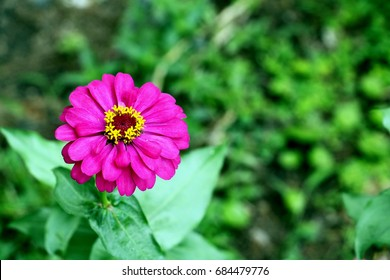 Close up of purple Zinnia flower . white Zinnia flower in the garden.Thailand Zinnia.