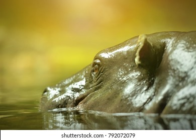Close up of pygmy hippo, selective focus.