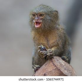 Close up of a Pygmy Marmoset (Cebuella pygmaea)
