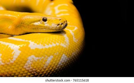 close up python snake in dark background