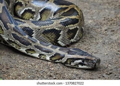 Close up python snake, python snake in the wild.
