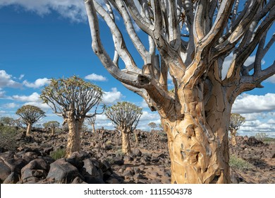 Close Up of a Quiver Tree with Additional Quiver Trees in the Background - Quiver Tree Forest in Namibia