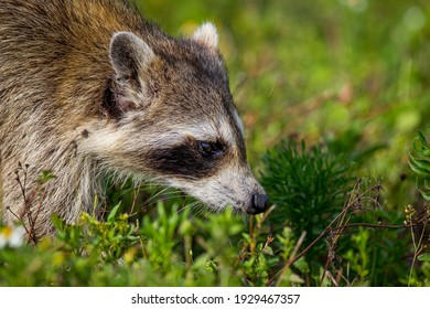 Close up of raccoon sniffing for food