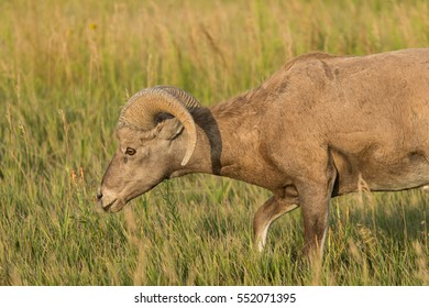 close up of a ram grazing on prairie grass with blue sky background