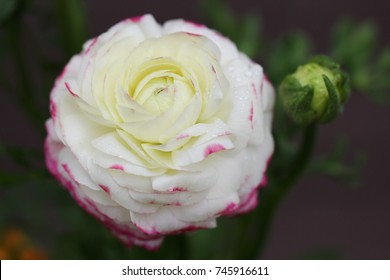 A close up of a Ranunculus flower or Buttercup, selective focus.