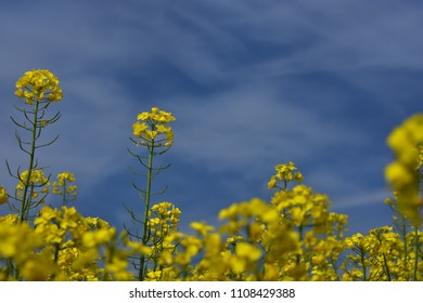 Close up rapeseed (Brassica napus) flower ending blooming, ripening oilseed rape over blue sky. Close up of rapeseed field.