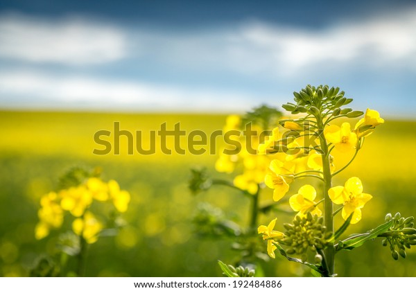 close up of a rapeseed - a rapeseed with field of rapeseed in the background