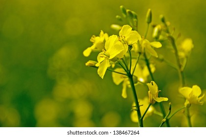 Close up of rapeseed flower with green background and copy space