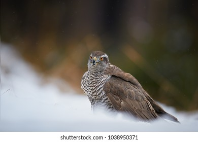 Close up raptor, Northern goshawk, Accipiter gentilis on the snowy ground. Low angle photo of bird of prey in its native spruce forest environment, staring at camera. Animal action scene.Winter nature