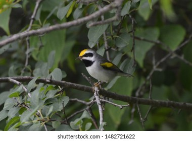 Close up of a rare Golden Winged Warbler