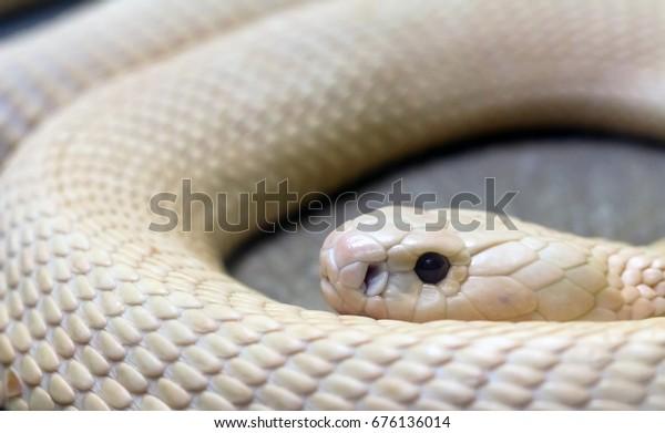 Close Rare White Albino Monocled Cobra Animals Wildlife Stock Image 676136014