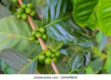 Close up raw green coffee beans on tree