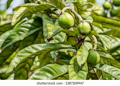 close up raw green loquat fruits on tree branches. loquat has a number of health benefits, including the ability to prevent diabetes, lower cholesterol levels, and protect bone mineral density.