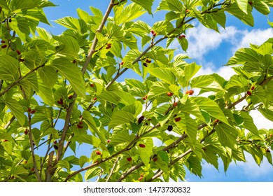 close up raw red mulberry fruits and green leaves on tree branches.