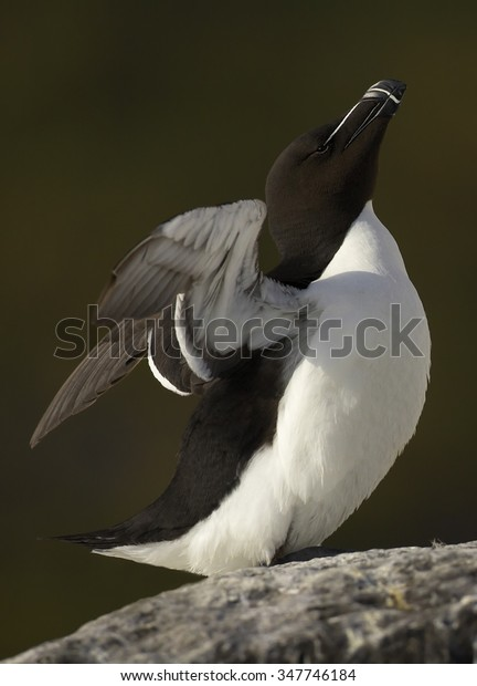 Close up Razorbill Alca torda standing on the edge of cliff after return from ocean with outstreched wings.  Dark green distant background.