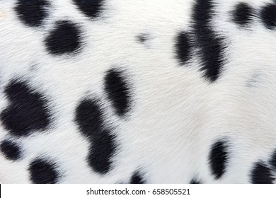 Close real dalmatian fur background detail
