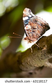 Close up of a Red Admiral (Vanessa Atalanta) butterfly on a branch