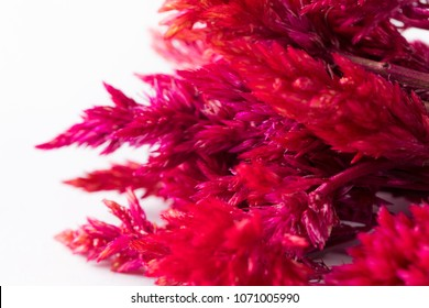 Close up of Red Amaranth strain in bundle on white background. Fresh micro greens edible flower salad ingredient or garnish.