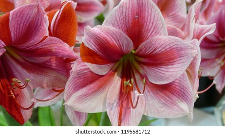 Close up of red Amaryllis Flower, Amaryllis belladonna