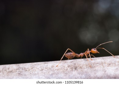 Close up red ant