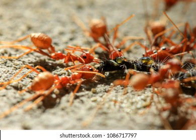 Close up Red ant eating worm at day time background.