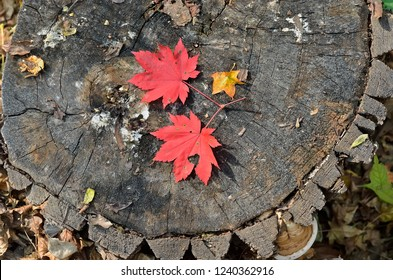 A close up of the red autumn leaves maple on old tree cut.