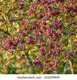 Close up of red berries of an autumnal plant, Rowan Tree.